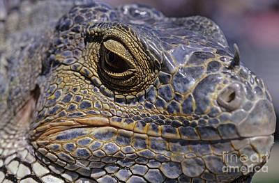 Photograph - Iguana Lizard by Jim Corwin