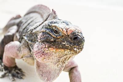Photograph - Iguana On The Beach by Pier Giorgio Mariani