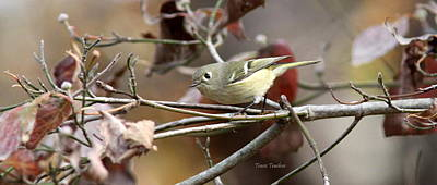 Photograph - Img_0025-003 - Ruby-crowned Kinglet by Travis Truelove