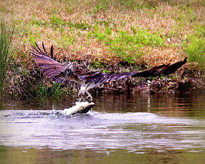 Photograph - Img_8385-002 - Osprey by Travis Truelove