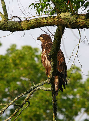 Immature Bald Eagle Art Print by James Jones
