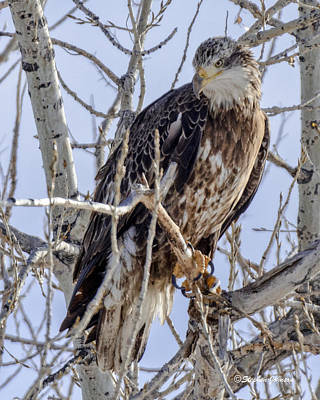 Photograph - Immature Bald Eagle  by Stephen Johnson