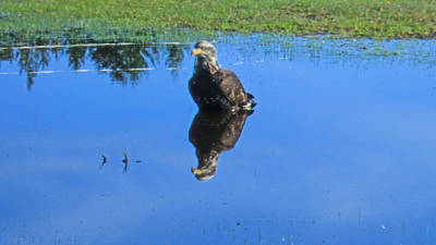 Photograph - Immature Eagle Fishing In A Roadside Puddle by Marie Jamieson