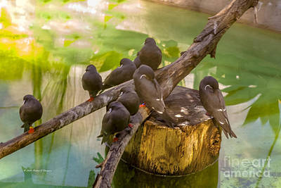 Photograph - Inca Terns by Richard J Thompson