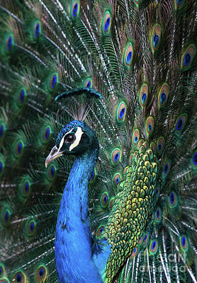 Photograph - Indian Peacock With Tail Feathers Up by Andrew Michael