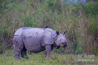 Greater One Horned Rhino Photograph - Indian Rhinoceros, India by B. G. Thomson