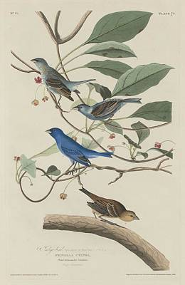 Ornithology Drawing - Indigo Bird by Dreyer Wildlife Print Collections