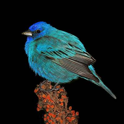 Indigo Bunting Original by John Absher