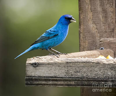 Photograph - Indigo Bunting by Ricky L Jones