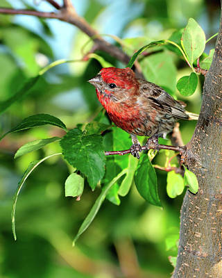 House Finch Photograph - Inquisitive by Betty LaRue