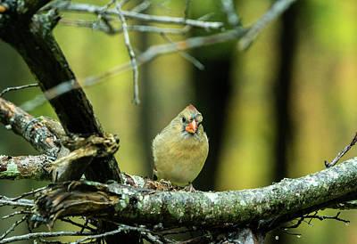 Photograph - Intent Cardinal by Douglas Barnett