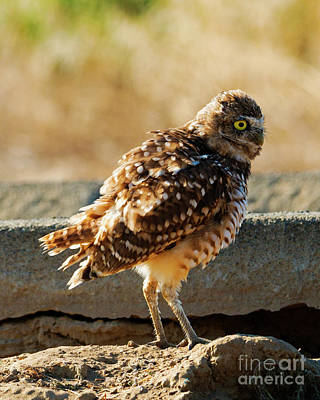 Burrowing Owl Wall Art - Photograph - Intent by Mike Dawson