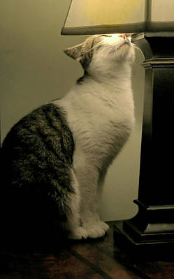 Gray Tabby Photograph - Into The Light by Diana Angstadt