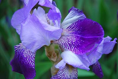 Photograph - Iris 32 by Allen Beatty