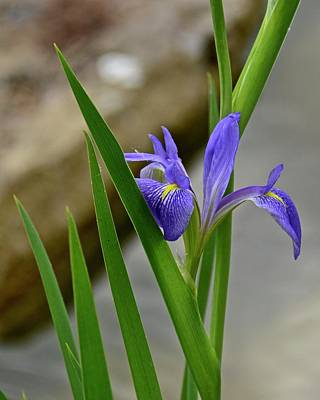Photograph - Iris by Carol Bradley