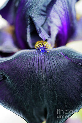 Garden Flowers Photograph - Iris Interpol by Tim Gainey