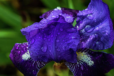 Photograph - Iris by Jay Stockhaus