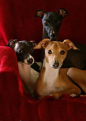 Photograph - Italian Greyhound Brothers by Angela Rath