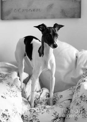 Photograph - Italian Greyhound In Black And White by Angela Rath