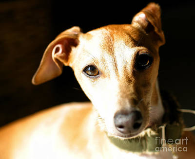 Italian Greyhound Portrait Art Print by Angela Rath