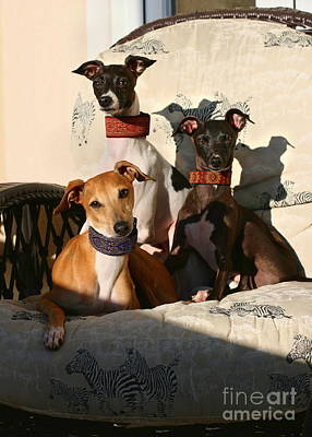 Rescued Greyhound Photograph - Italian Greyhounds by Angela Rath