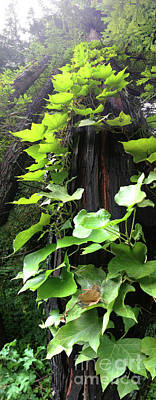 Photograph - Ivy Leaves Reaching With Redwood Trees In California by Wernher Krutein