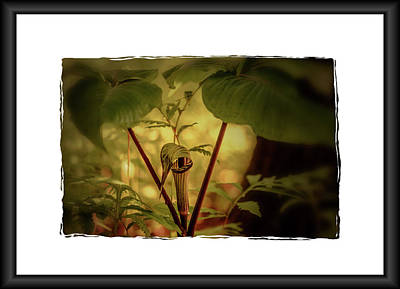 Photograph - Jack In The Pulpit 2 by Sherman Perry