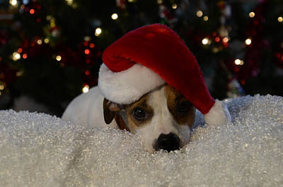 Photograph - Jack Russel Christmas by Ann Bridges