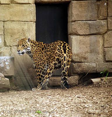Photograph - Jaguar by Elaine Mikkelstrup