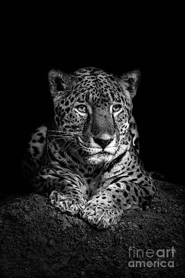 Photograph - Jaguar by Jarrod Erbe