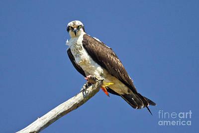 Photograph - James River Osprey I by Karen Jorstad
