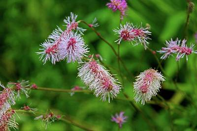 Photograph - Japanese Burnet by Michiale Schneider