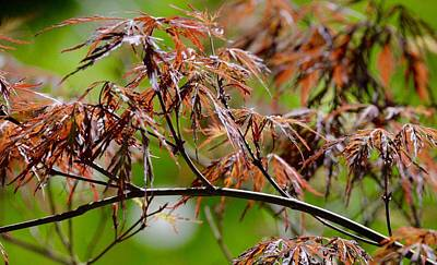 Nature Photograph - Japanese Maple by Kristen Beck