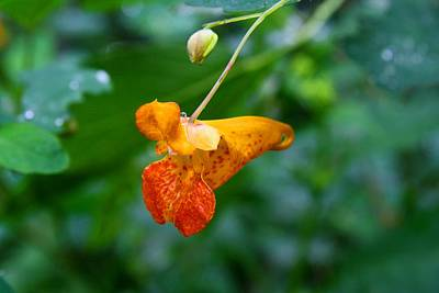Photograph - Jewelweed 1 by Kathryn Meyer