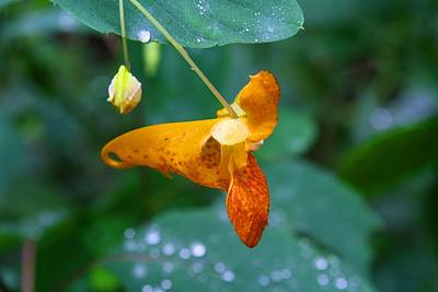 Photograph - Jewelweed 2 by Kathryn Meyer