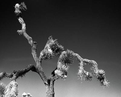 Photograph - Joshua Tree by Alex Snay