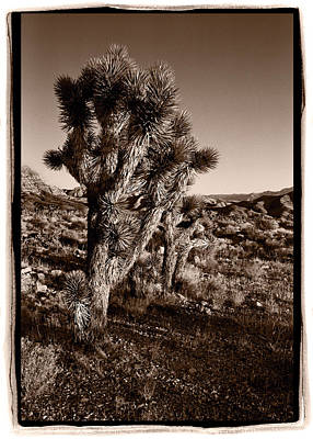 Joshua Tree Forest Utah Original