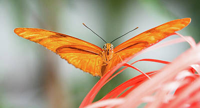 Photograph - Julia Butterfly by Cathy Donohoue