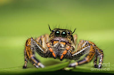 Art Print featuring the photograph Jumping Spider On Green Leaf. by Tosporn Preede