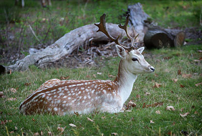 Stag Wall Art - Photograph - Just Chillin by Nigel Jones