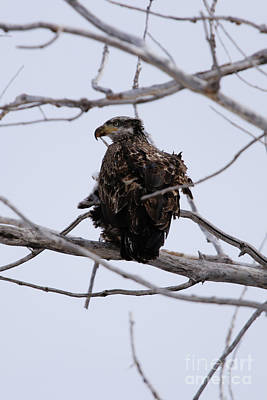 Photograph - Juvenile Bald Eagle by Alyce Taylor