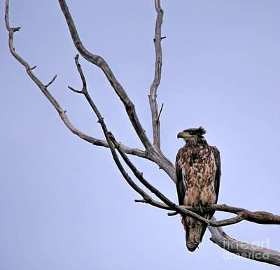 Photograph - Juvenile Bald Eagle by Elizabeth Winter