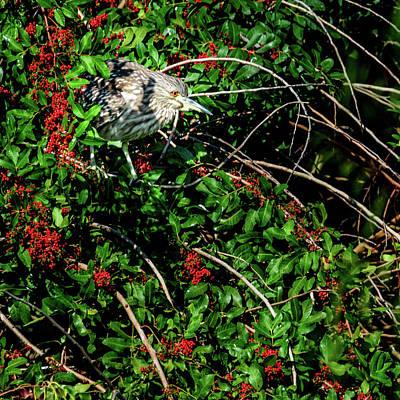 Photograph - Juvenile Black Crowned Night Heron Limb Walking by Debra Martz