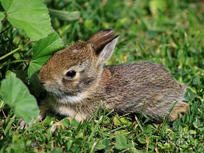 Photograph - Juvenile Cotton-tail Rabbit by J McCombie