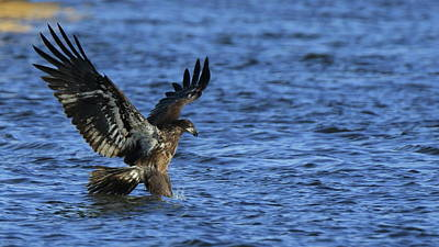 Photograph - Juvenile Eagle Fishing by Coby Cooper