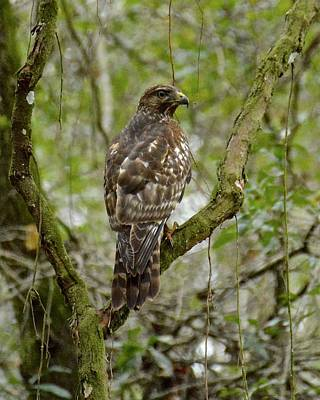Photograph - Juvenile Short-tailed Hawk by Carol Bradley