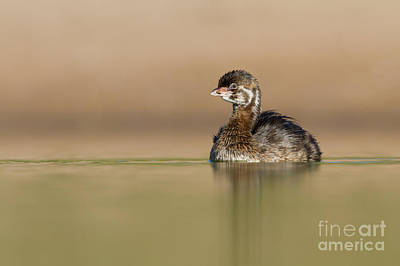 Photograph - Juvie Pied Billed Grebe by Bryan Keil
