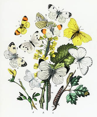 Animals Drawings - Kaleidoscope of fluttering butterflies and caterpillars by William Forsell Kirby