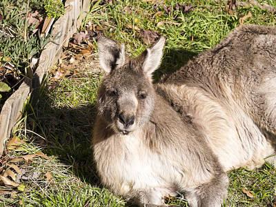 Photograph - Kangaroo - Canberra- Australia by Steven Ralser