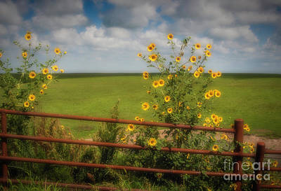 Photograph - Kansas State Flower by Fred Lassmann
